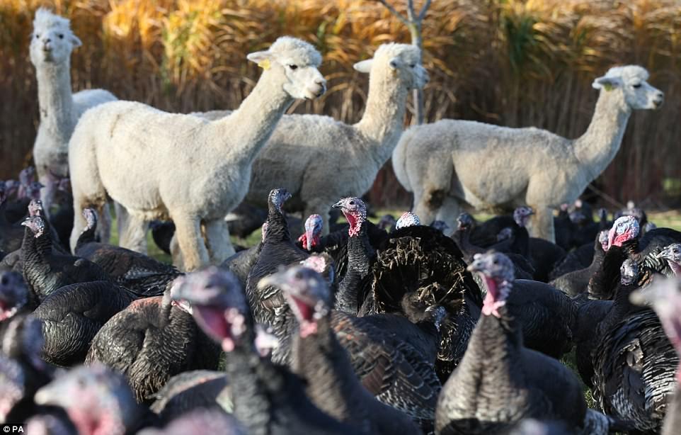 copas farm alpacas protecting turkeys